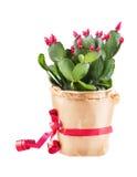 Cactus de Shlumbergera Photographie stock libre de droits