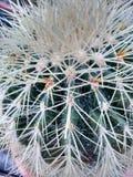 Cactus de Spikey Imagen de archivo libre de regalías