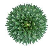 Cactus de succulent d'agave de la Reine Victoria de victoriae-reginae d'agave image libre de droits