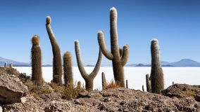 Cactus de Trichoreceus sur Isla Incahuasi Isla del Pescado au milieu plaine Salar de Uyuni, Bolivie de sel du ` s du monde de la  Image stock