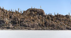 Cactus de Trichoreceus sur Isla Incahuasi Isla del Pescado au milieu plaine Salar de Uyuni, Bolivie de sel du ` s du monde de la  Photographie stock