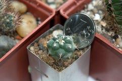 Cactus de Turbinicarpus comparado con tamaño de la moneda Imagen de archivo