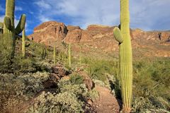 Cactus de tuyau et de Saguaro d'organe en monument national de cactus de tuyau d'organe, Arizona, Etats-Unis photographie stock libre de droits