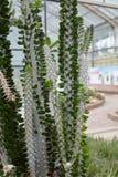 Cactus in de vorm van bladeren Royalty-vrije Stock Afbeeldingen