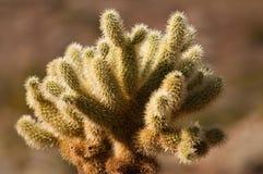 Cactus in de woestijn Stock Afbeelding
