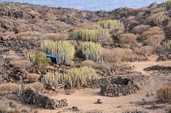 Cactus in de Woestijn Stock Foto