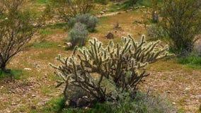 Cactus in de woestijn stock video
