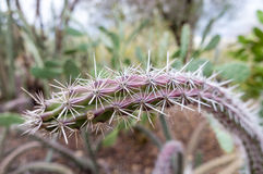 Cactus - de Woestijn van Arizona Royalty-vrije Stock Foto