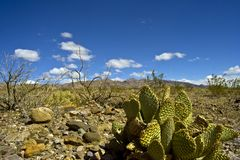 Cactus in Death Valley Royalty Free Stock Photos