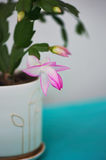 The cactus Decembrist, the first spring bloom. Pink flowering light pot on light background. The cactus Decembrist, the first spring bloom. Pink flowering light stock photography