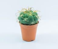 Cactus del aislamiento Foto de archivo