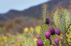 Cactus del castoro Fotografia Stock Libera da Diritti