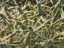 Cactus del deserto Immagini Stock