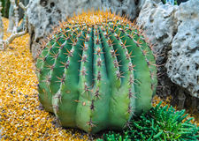 Cactus del deserto Immagine Stock Libera da Diritti