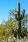 Cactus del desierto Fotos de archivo