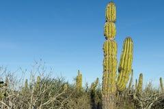 Cactus del desierto en México Foto de archivo