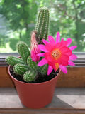Cactus del Echinocereus con il bello fiore Immagine Stock Libera da Diritti