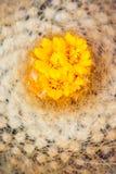 cactus del flor en jardín Imagen de archivo