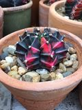 Cactus del Gymnocalycium Fotografía de archivo libre de regalías