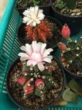 Cactus del Gymnocalycium Foto de archivo