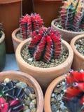 Cactus del Gymnocalycium Foto de archivo libre de regalías