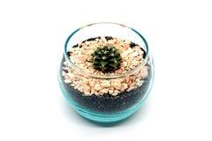 Cactus del Gymnocalycium Immagine Stock Libera da Diritti
