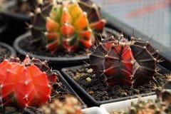 Cactus del Gymnocalycium Imágenes de archivo libres de regalías