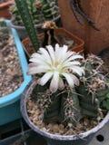 Cactus del Gymnocalycium con la flor Fotos de archivo