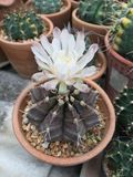 Cactus del Gymnocalycium o de la barbilla fotos de archivo