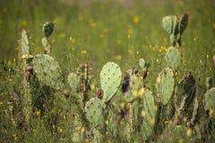 Cactus del higo chumbo con la fruta en sol de la madrugada Fotografía de archivo