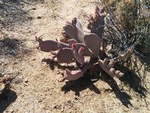 Cactus del higo chumbo con los brotes florecientes en Joshua Tree National Park imagen de archivo libre de regalías