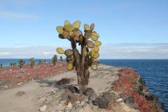 Cactus del higo chumbo de los pagos del ¡de Galà Fotografía de archivo libre de regalías