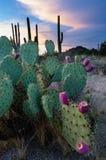 Cactus del higo chumbo en la puesta del sol Fotografía de archivo