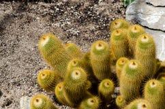 Cactus del leninghausii de Parodia fotos de archivo libres de regalías