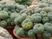 Cactus del Lophophora Foto de archivo