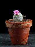 Cactus del Mammillaria Imagen de archivo