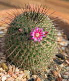 Cactus del Mammillaria Imagen de archivo libre de regalías