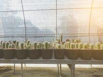 Cactus del Mammillaria en el pote imagen de archivo