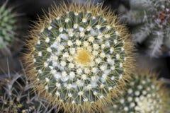 Cactus del Mammillaria, visión superior Fotos de archivo