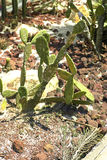 Cactus del Messico Fotografia Stock
