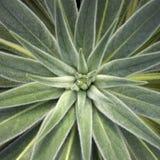 cactus del Morbido-foglio fotografia stock libera da diritti