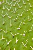 Cactus del Nopal Foto de archivo libre de regalías