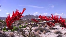Cactus del Ocotillo en la floración - ascendente cercano - desierto Ca de Borrego almacen de metraje de vídeo