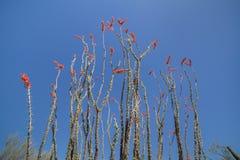 Cactus del Ocotillo in fioritura Immagine Stock
