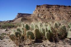 Cactus del pavimento del deserto fotografie stock libere da diritti