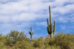 Cactus del saguaro immagini stock