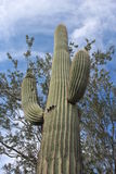 Cactus del Saguaro in Arizona fotografia stock