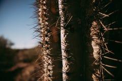 Cactus del saguaro in Arizona Immagini Stock