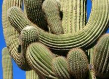 Cactus del Saguaro - braccia intrecciate Fotografia Stock Libera da Diritti