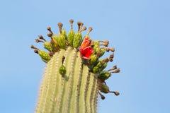 Cactus del saguaro con frutta Fotografie Stock Libere da Diritti